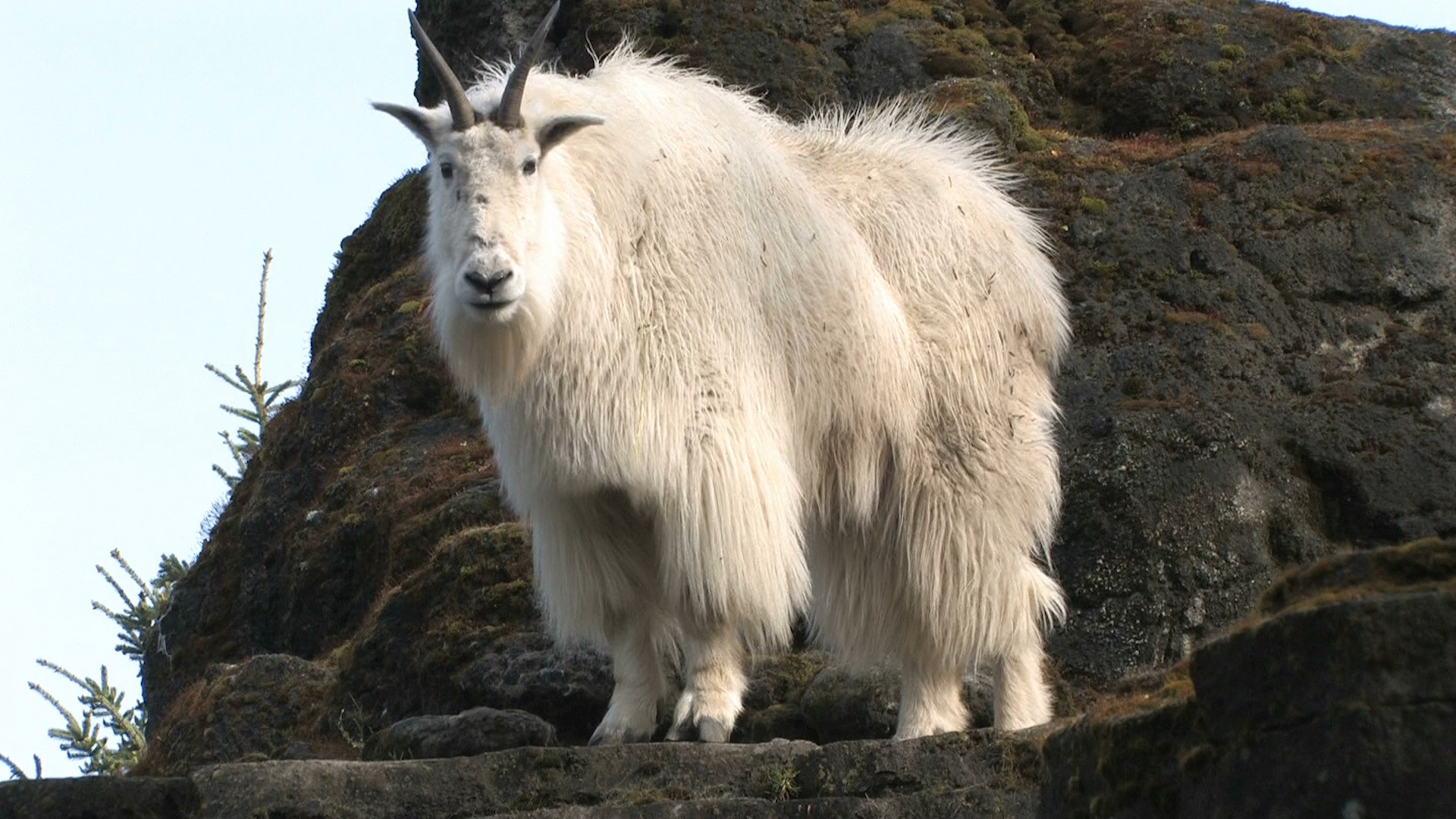 Mountain Goats Aren T Actually Goats